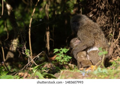 Olive Baboons (Papio Anubis) (Anubis Baboon) in Bale Mountain National Park