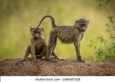 Olive baboons sit and stand on bank