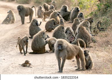 Olive Baboons in Tarangire National Park in Tanzania