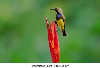 Olive backed Sunbird