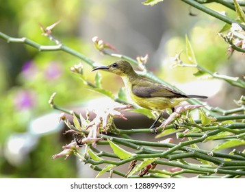 Olive - backed sunbird closeup with selective focus