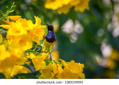 Olive backed sunbird. / Olive backed sunbird on Yellow trumpet flower with green leave background.