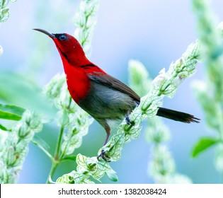 Olive backed sunbird, sunbirds of Thailand
