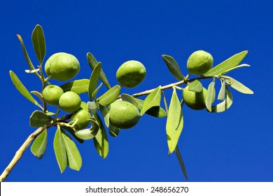 olive branch against the blue sky
