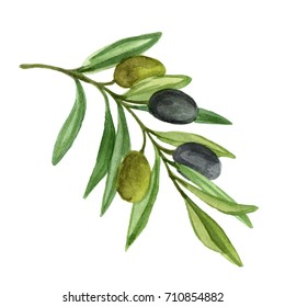 Olive branch with berries. Watercolor illustration isolated on white background