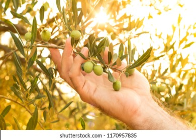 Olive branch in farmer's hand - close up. Agriculture or gardening - country outdoor scenery, gold sunset light.