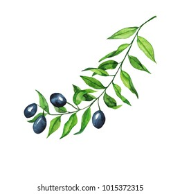 Olive branch isolated on white background. Hand drawn watercolor illustration.