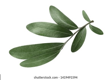 Olive branch, isolated on white background