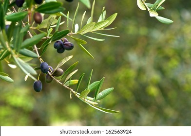 Olive branch and tree, ready for harvesting