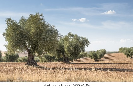 Olive farm. Olive trees in row and blue sky