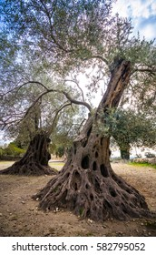Olive field with big old tree roots and trunk, Crete, Greece