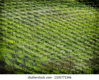 Olive field in full bloom in Montepulciano, Tuscany Italy
