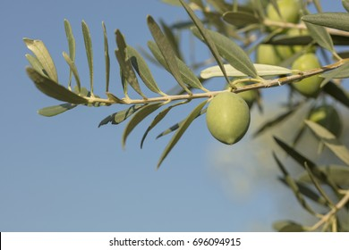 Olive fresh on the tree background.