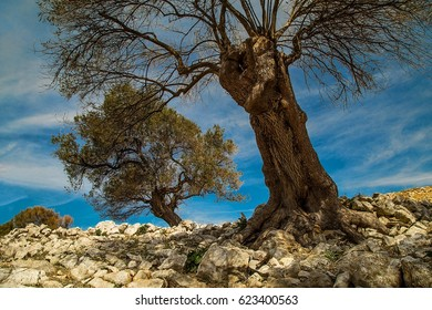 Olive gardens of Lun with thousands years old olive trees, island of Pag (Croatia)