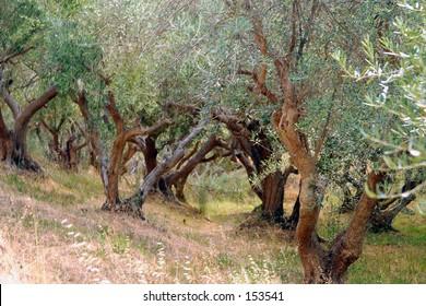 Olive Grove...