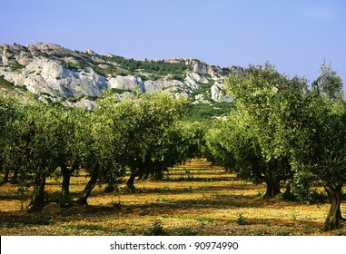 olive grove, alpilles provence france