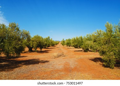 Olive grove in Andalusia, southern Spain