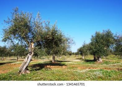 Olive grove in the fields of Alentejo region, Portugal
