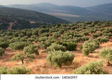 Olive Grove, Galilee Meron Mountain, North Israel