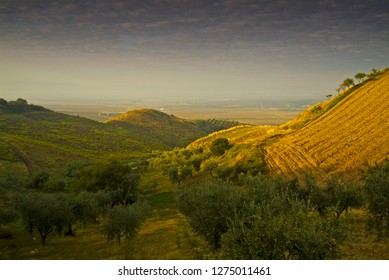 Olive grove, Gargano Promontory, Apulia, Italy