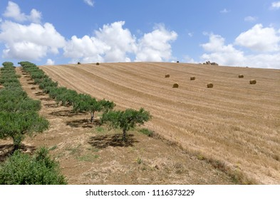 olive grove and hay