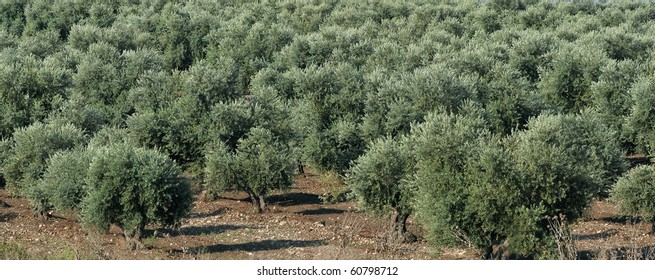 olive grove in Israel