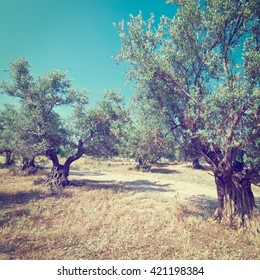 Olive Grove in Israel, Instagram Effect