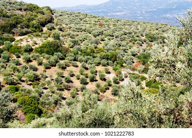 Olive grove in Kalamata, Peloponnese, Greece.