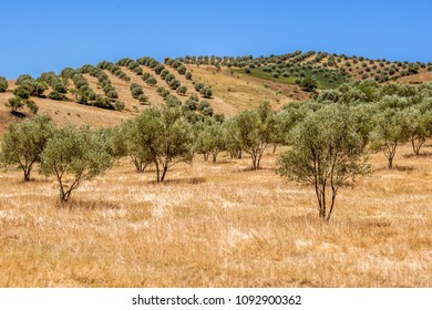 Olive grove in the north of Morocco