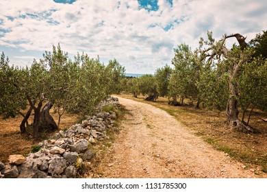 Olive grove on the island of Brac, Croatia.