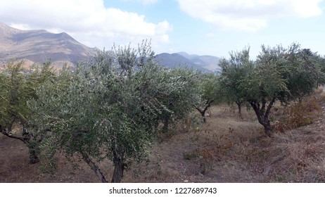 An olive grove on the mountainside above the town of Neapolis, on the Greek island of Crete