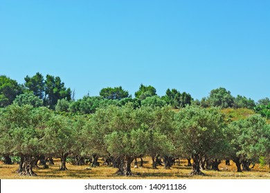 Olive Grove on the Slopes of the Hills, Israel