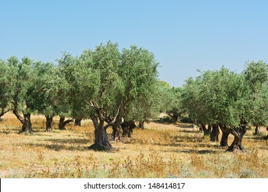 Olive Grove on the Slopes of the Hills of Galilee