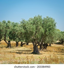 Olive Grove on the Slopes of the Hills of Galilee, Instagram Effect