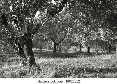 olive grove shot in black and white with slective filter on lens