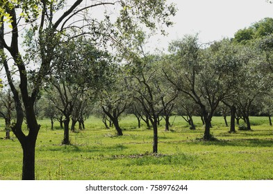 Olive grove - Olive trees