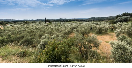 Olive grove in the valley near the fortress Les Baux de Provence. Bouches du Rhone, Provence, France, Europe.