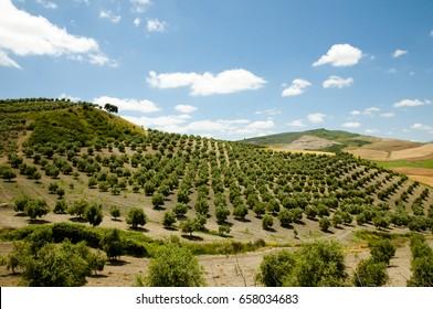 Olive Groves - Malaga - Spain