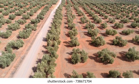 Olive groves for olive oil extraction in Andalusia, Southern Spain