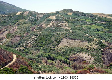 Olive groves on the slope of mount in Crete island, Greece