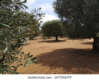 olive groves in Salento, Italy