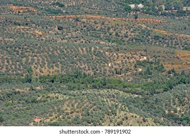Olive groves with young trees and small properties