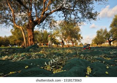 The Olive Harvest. Messinia Greece.