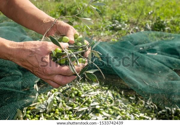 Olive harvest: woman's hand keep freshly picked olives. Mediterranean healthy food