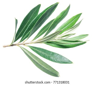 Olive leaves on the white background.