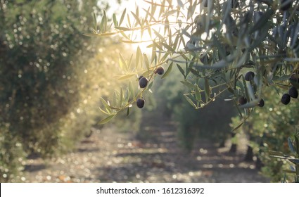 Olive oil trees full of olives. Landscape Harvest ready to made extra virgin olive oil.