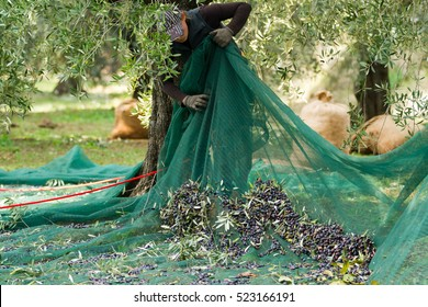olive picking, using the net