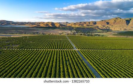 Olive Plantation in Bakersfield, California. Beautiful Sunset Light