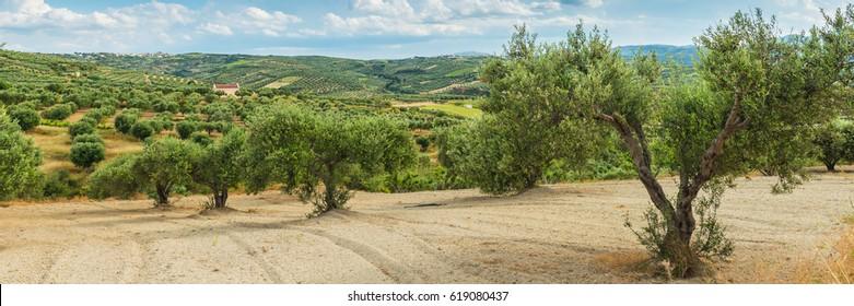 Olive plantation Crete ,Greece, Europe