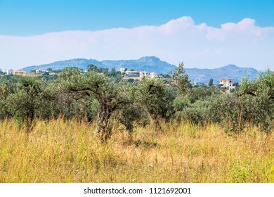 Olive plantation near Kolymbia. Rhodes, Dodecanese Islands, Greece, Europe
